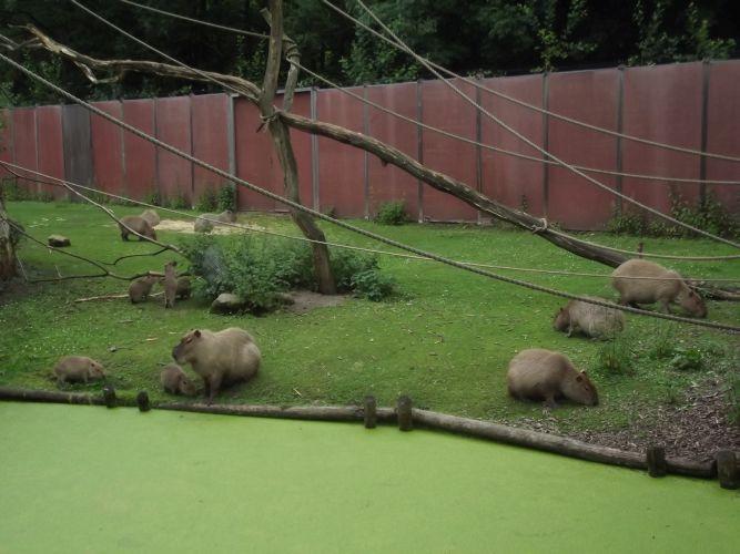 capibara-familie